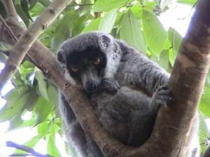 Lémur mongoz (Eulemur mongoz)